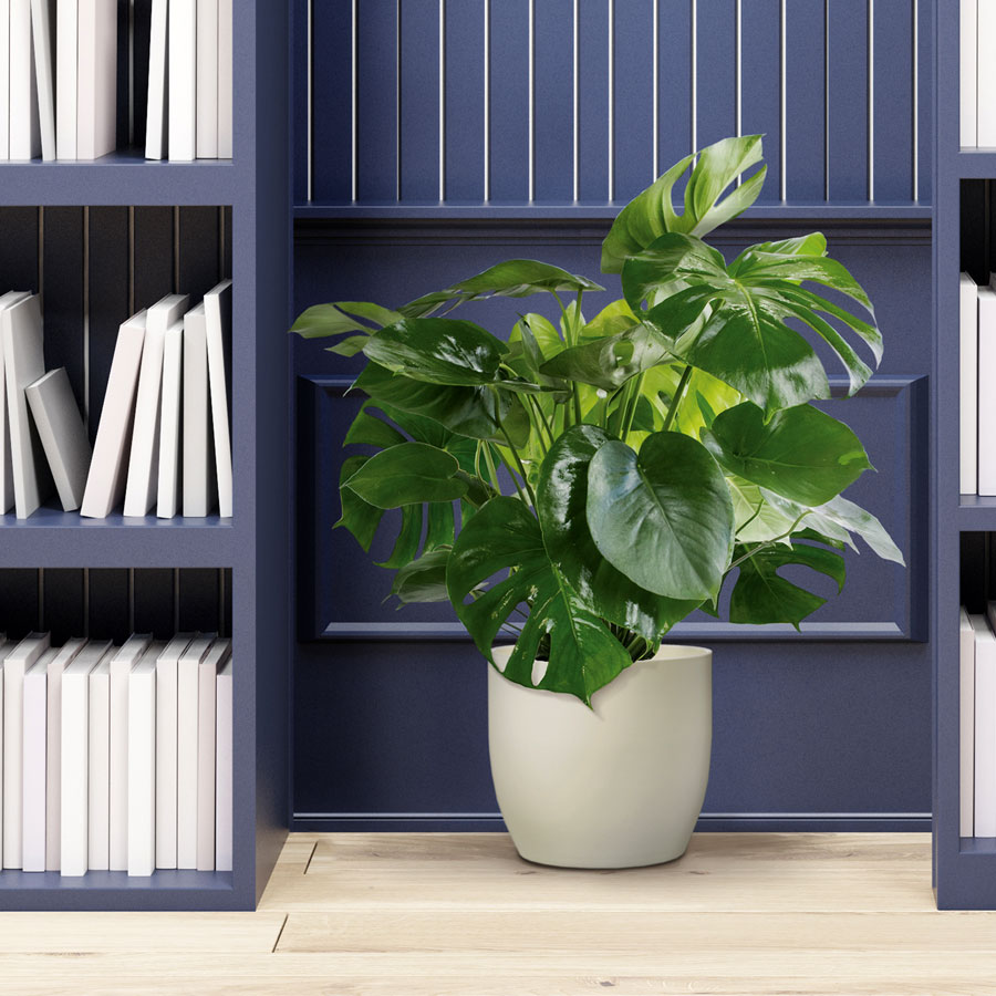philo monstera in cream ceramic container for sale at wayside gardens. Black Bedroom Furniture Sets. Home Design Ideas