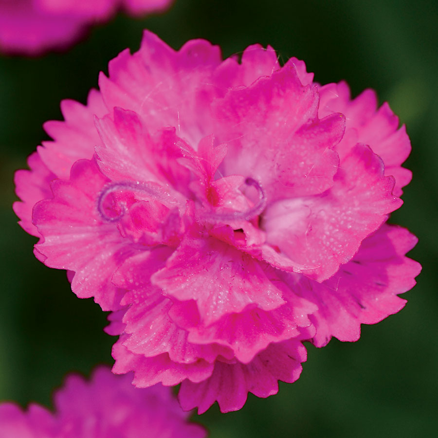 Dianthus Mountain Frost Pink Pompom At Wayside Gardens