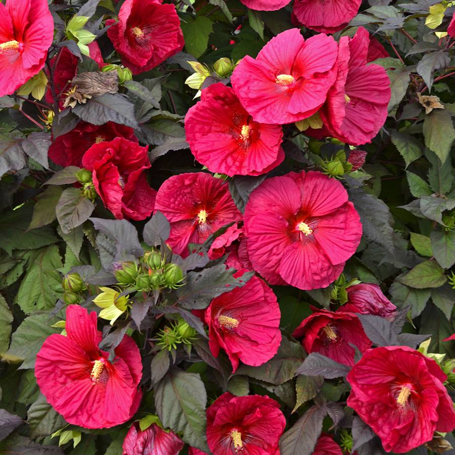Hibiscus shrub plants a must have perennial plant for a sunny garden hibiscus mars madness izmirmasajfo