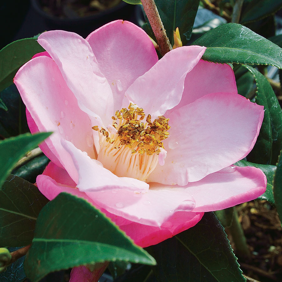 Camellia 'Taylor's Perfection' Image