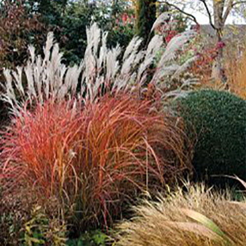 Miscanthus 'Fire Dragon'® Image