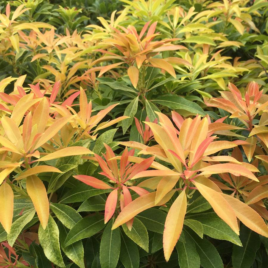 Pieris 'Forest Flame' Image