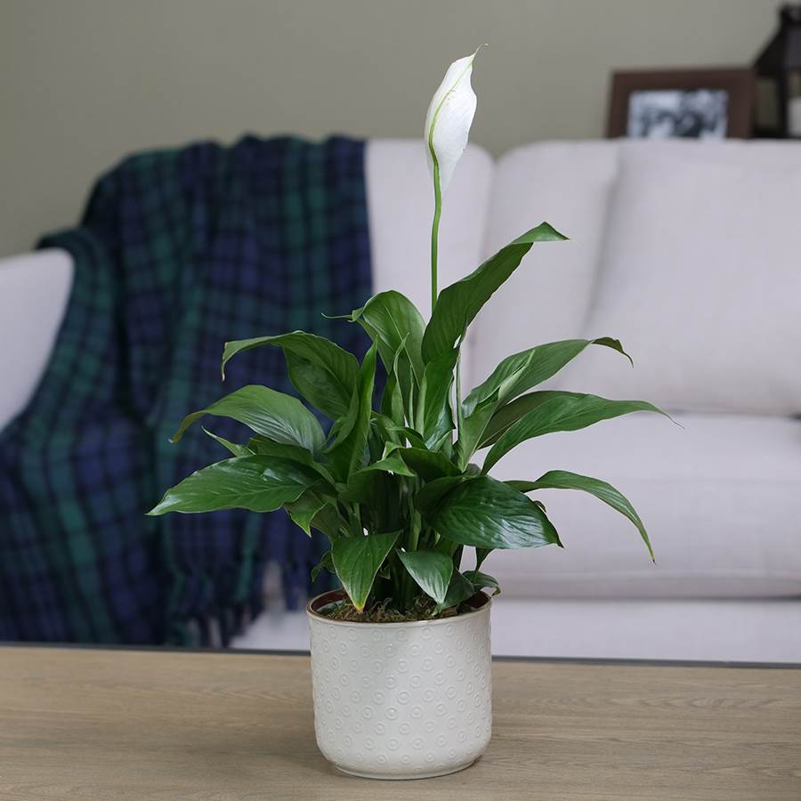 Peace Lily Image