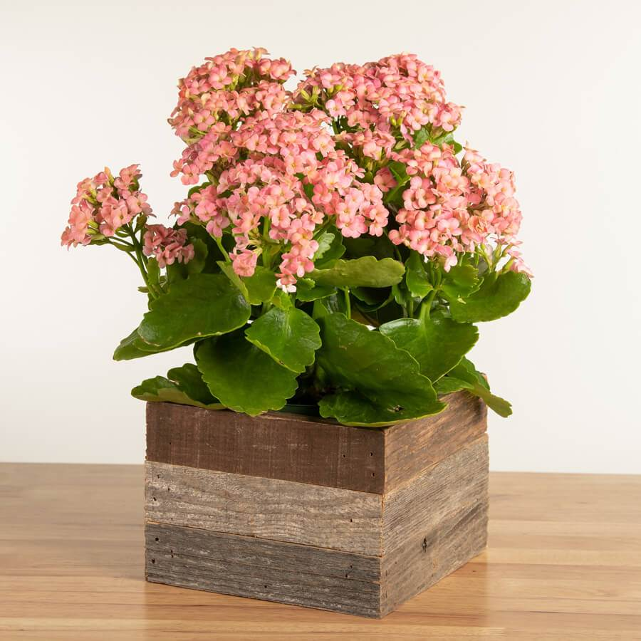 Pretty Pink Kalanchoe in Reclaimed Wood Image
