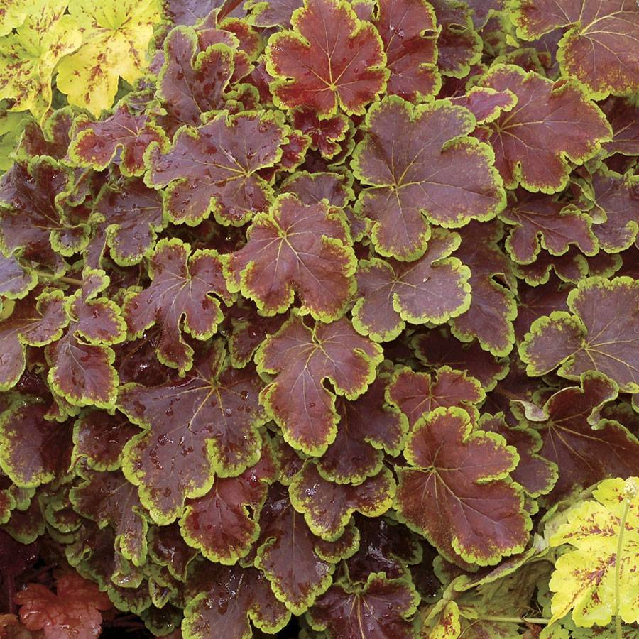 heuchera solar eclipse from wayside gardens. Black Bedroom Furniture Sets. Home Design Ideas