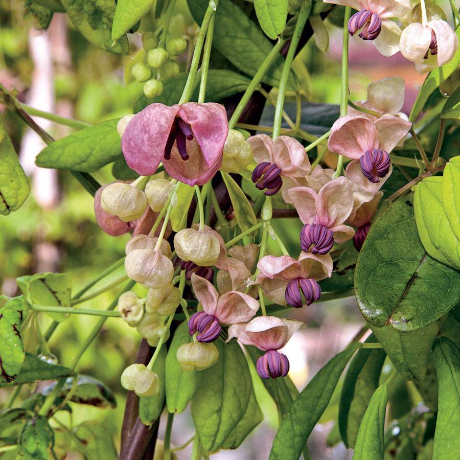 Vines Climbers Clematis Campsis Lonicera Wisteria Vines