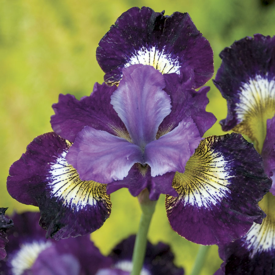 Iris contrast in styles from wayside gardens selling out fast izmirmasajfo