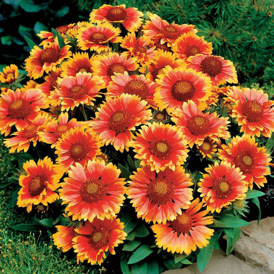 Gaillardia Arizona Sun From Wayside Gardens