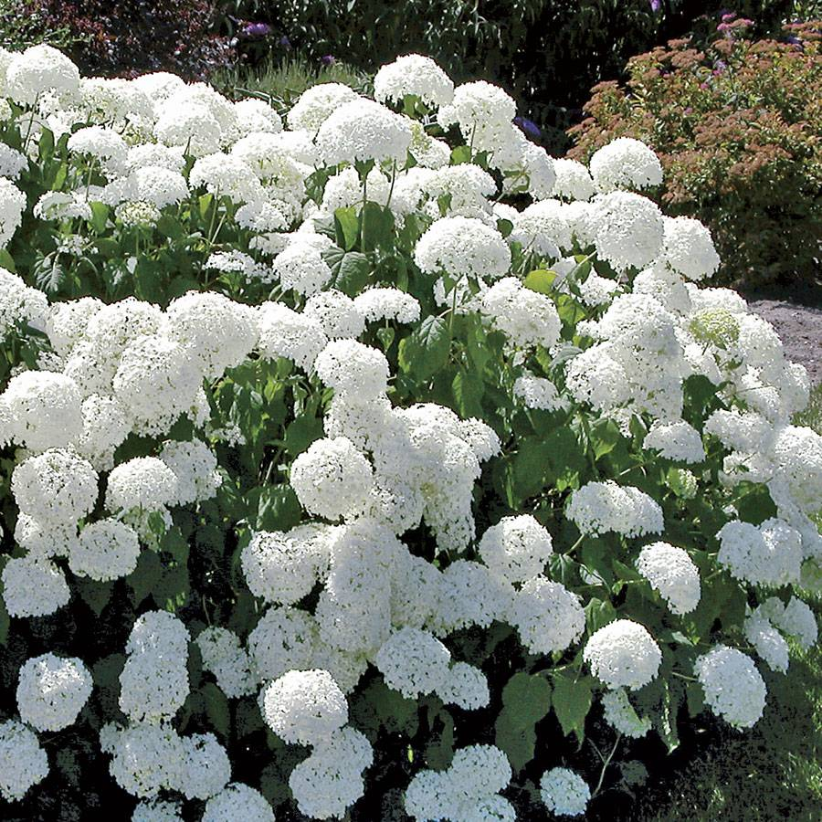 annabelle hydrangea hydrangea arborescens annabelle at wayside gardens. Black Bedroom Furniture Sets. Home Design Ideas