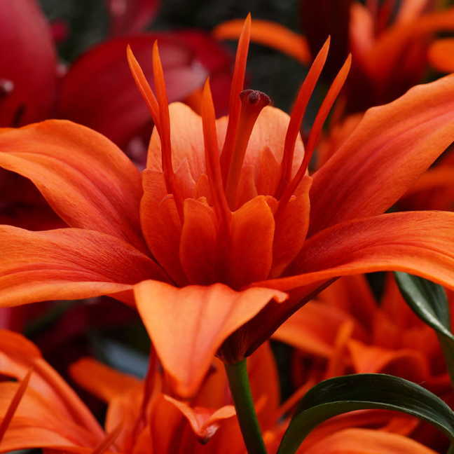 Lilium Red Twin®  - Pack of 3 Image