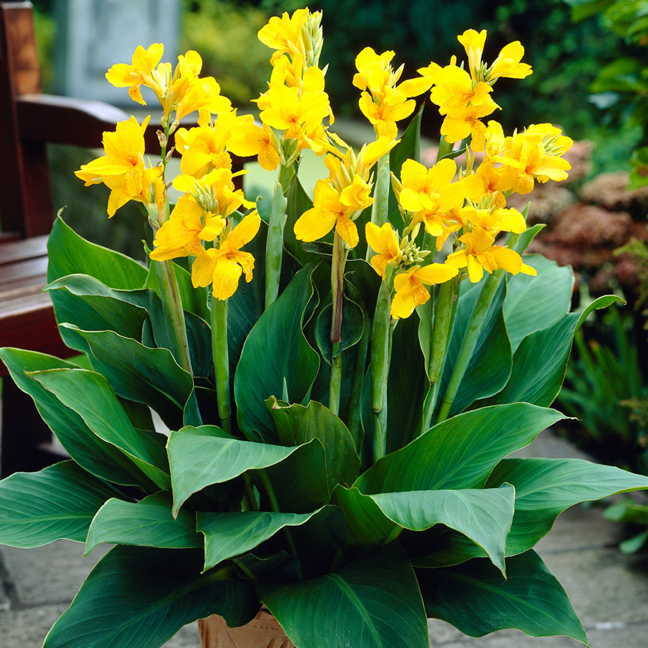 Canna yara pack of 3 at wayside gardens sold out mightylinksfo