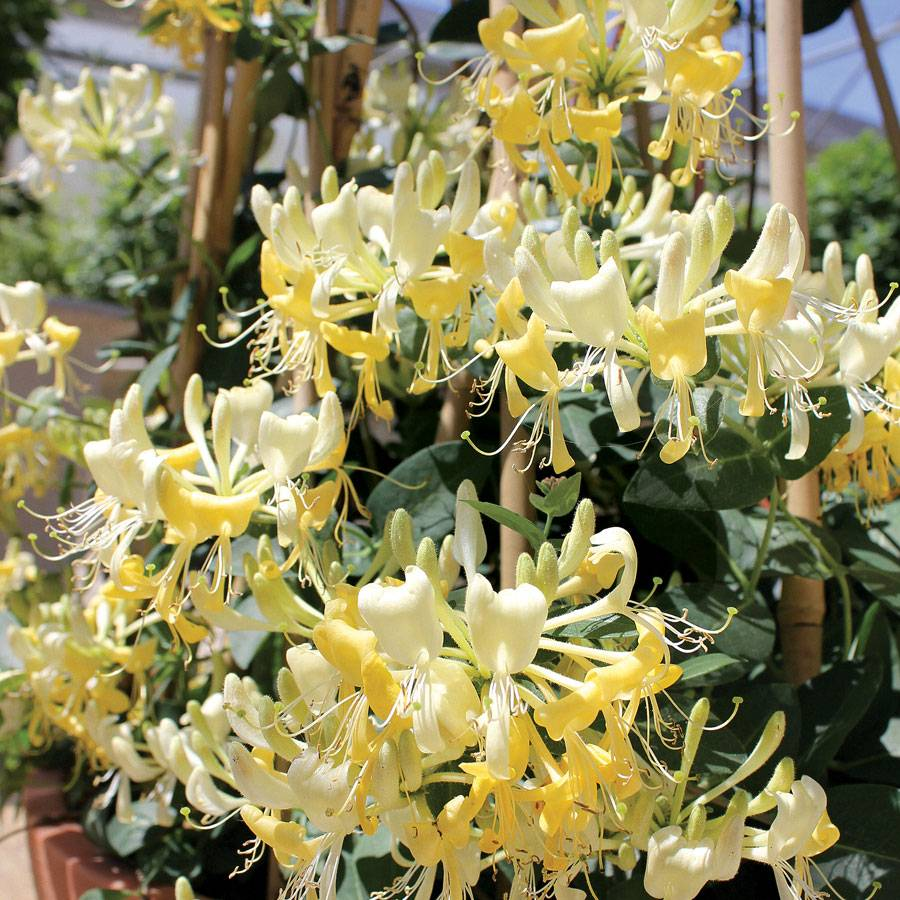 Lonicera 'Scentsation' at Wayside Gardens