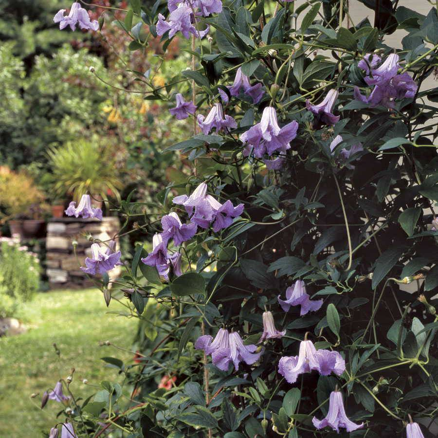 Betty corning clematis clematis viticella betty corning - Clematis viticella ...