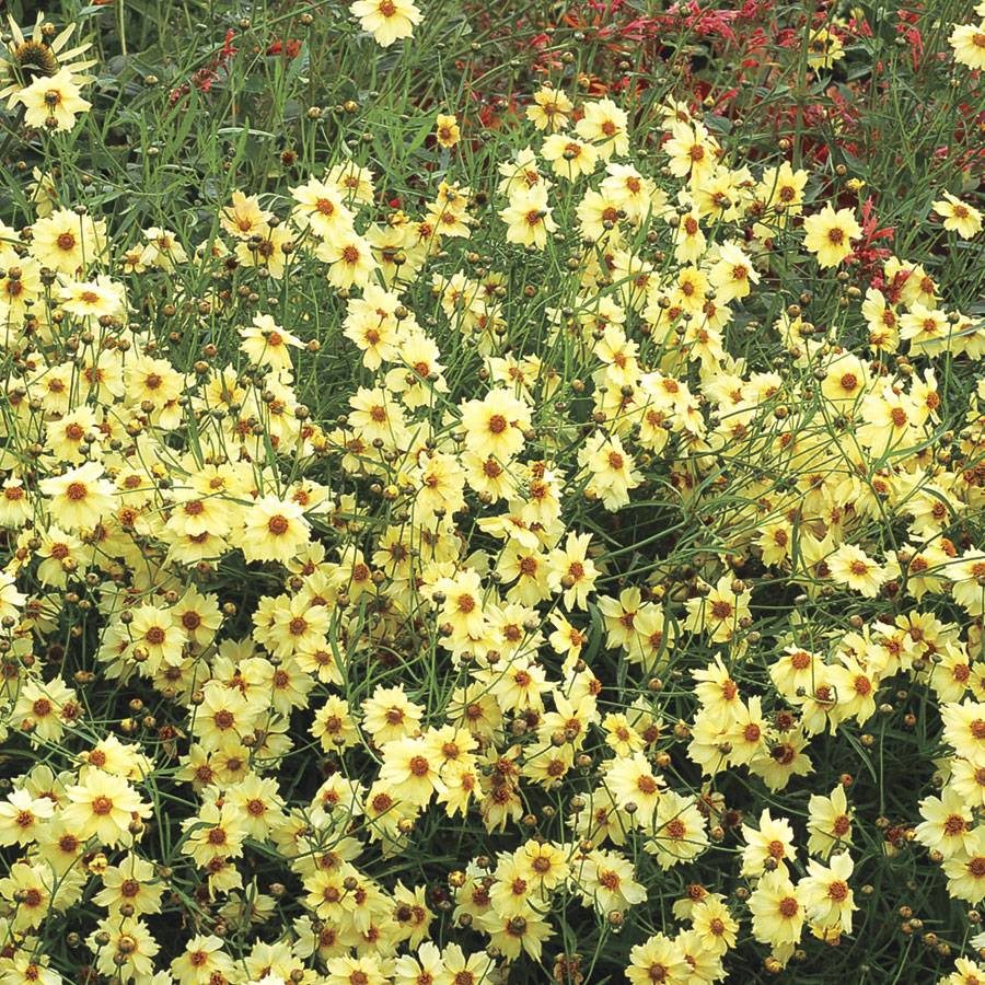 Coreopsis Moonlight For Sale At Wayside Gardens