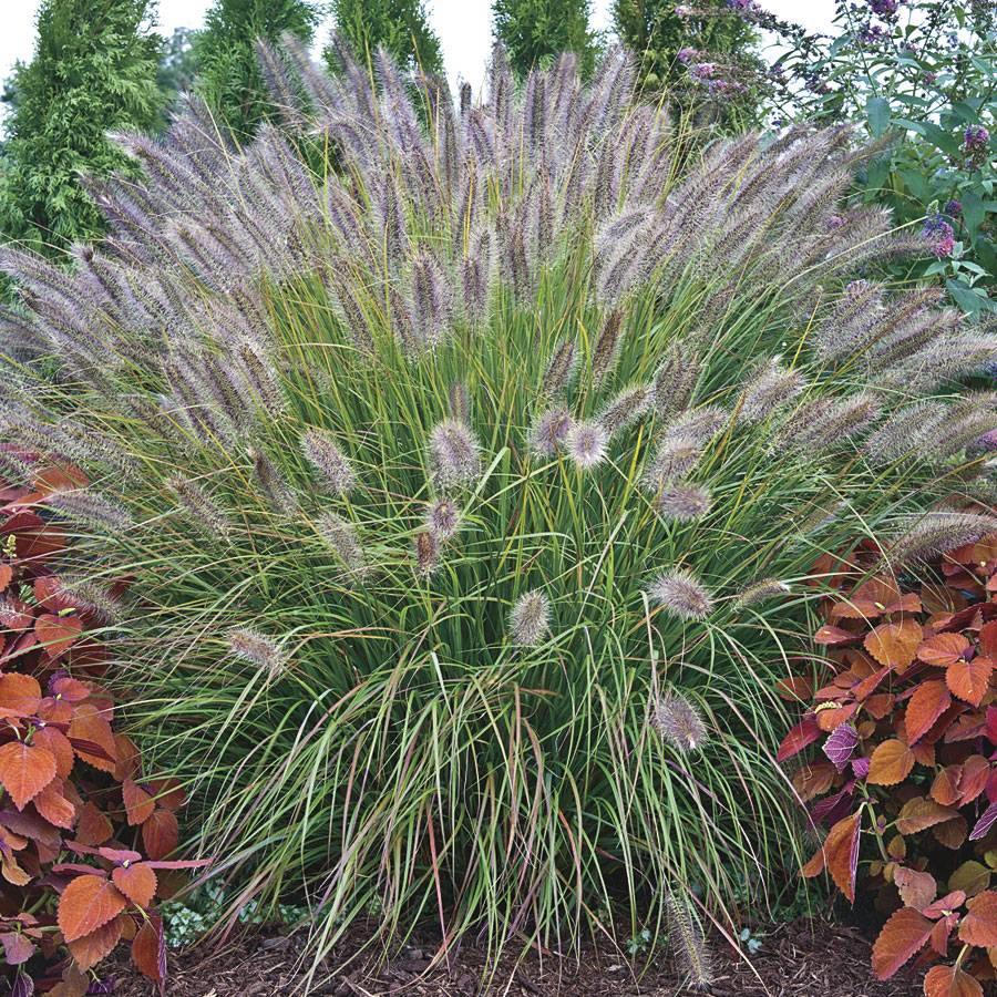 Pennisetum 39 desert plains 39 at wayside gardens for Red perennial grass