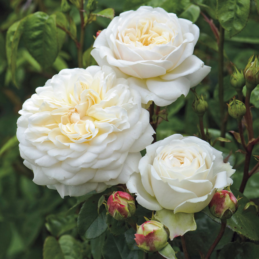 Rose Bushes That Grow In Shade