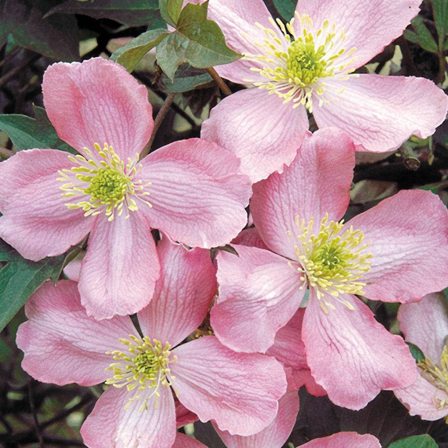 Odorata clematis from wayside gardens sold out clematis odorata mightylinksfo