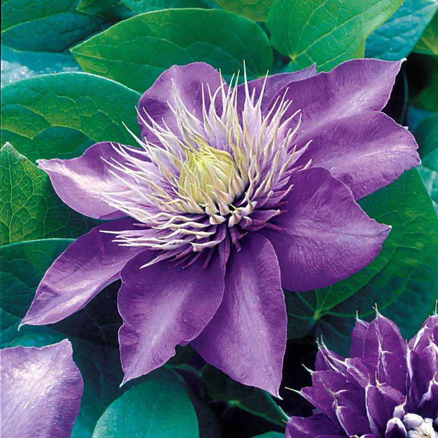 clematis 39 multi blue 39 at wayside gardens. Black Bedroom Furniture Sets. Home Design Ideas