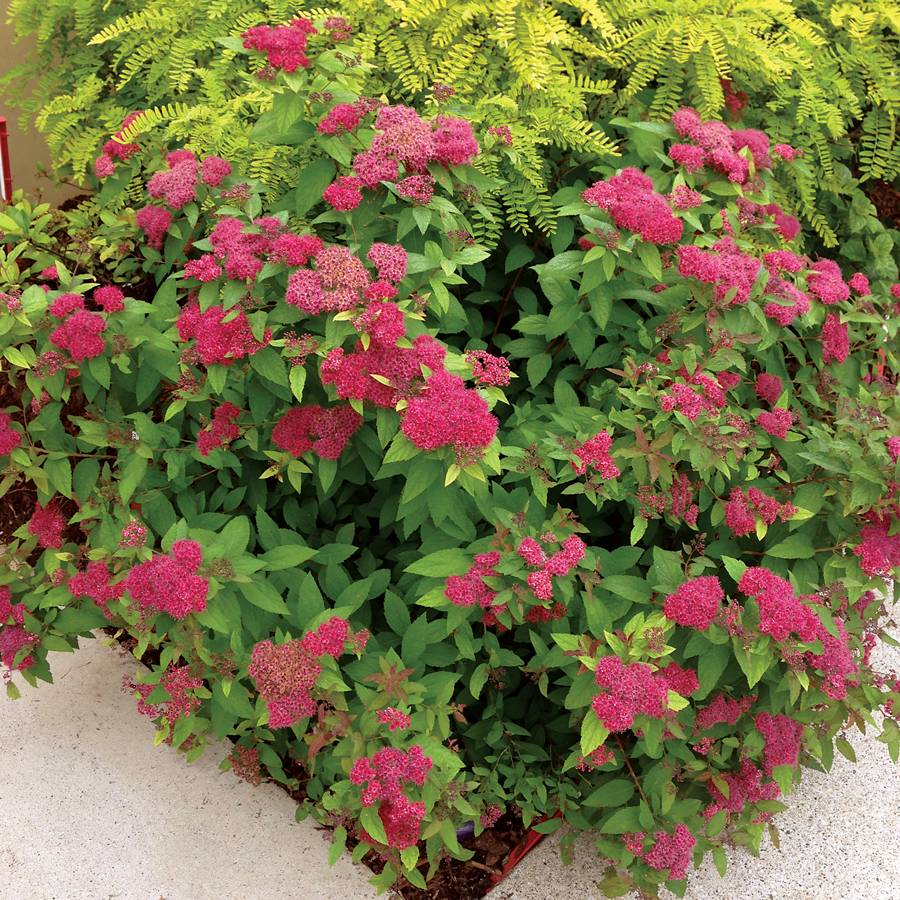 Spirea Double Play Red From Wayside Gardens