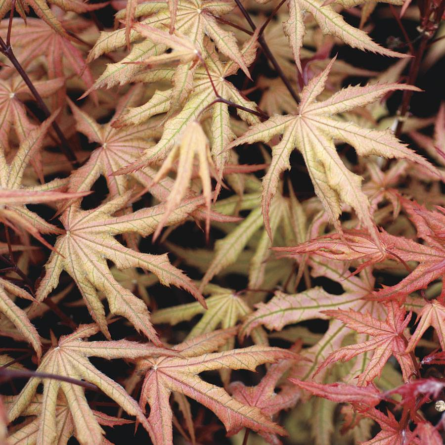 Acer Palmatum Amber Ghost From Wayside Gardens