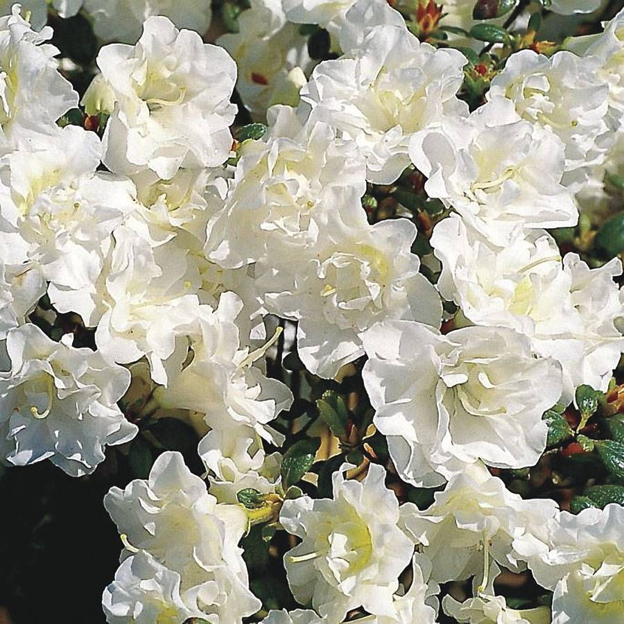 Rhododendron Snow Pearl From Wayside Gardens