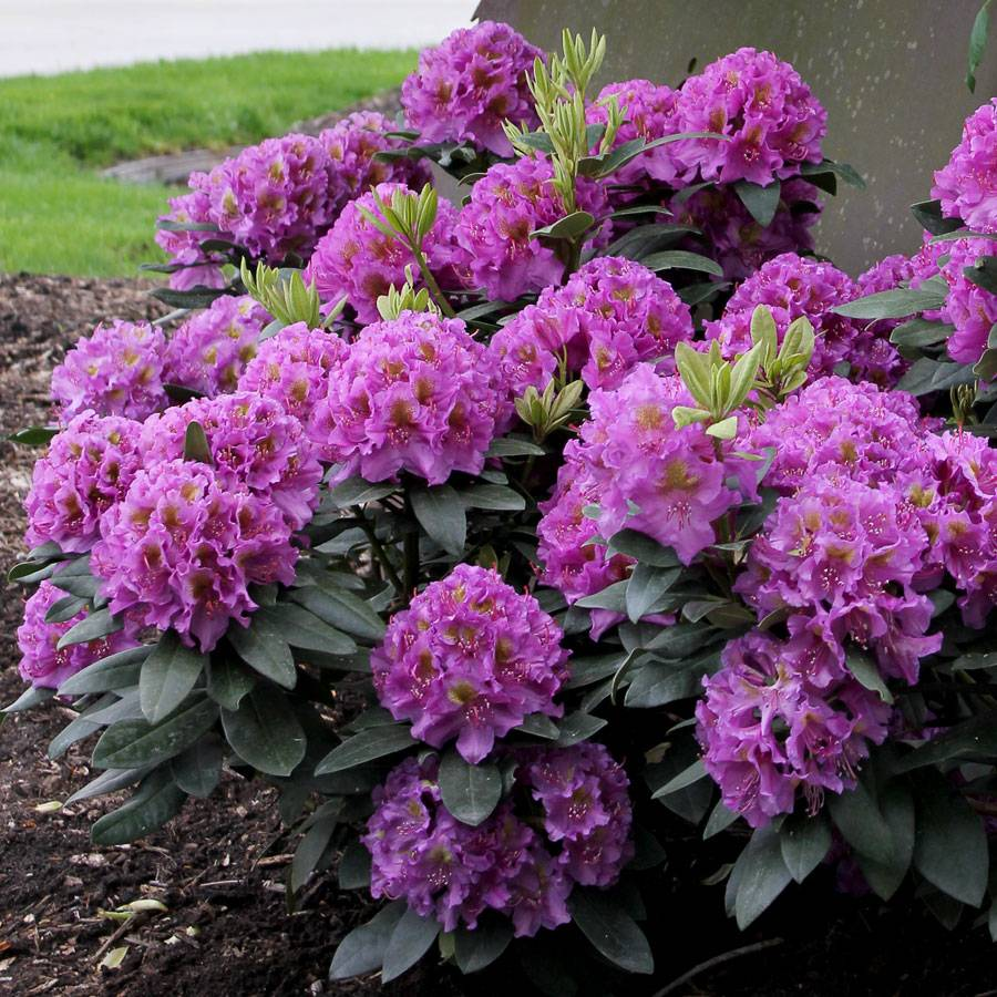 Rhododendron dandy man 39 purple 39 at wayside gardens - Care azaleas keep years ...