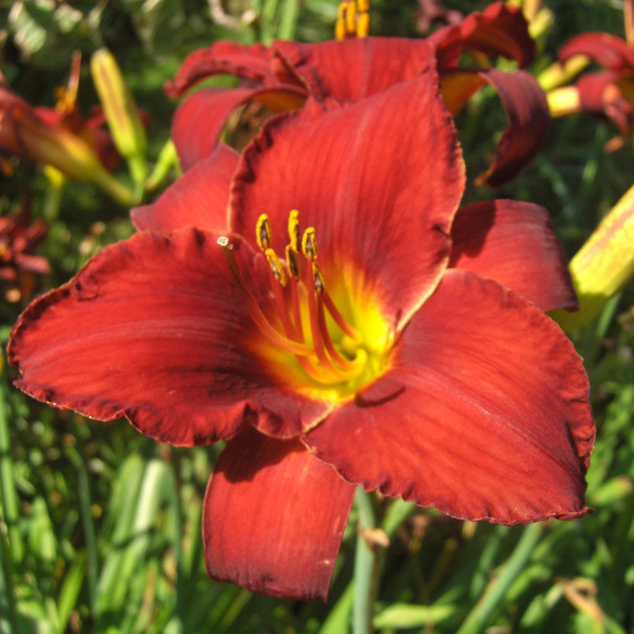 Hemerocallis Ruby Stella From Wayside Gardens