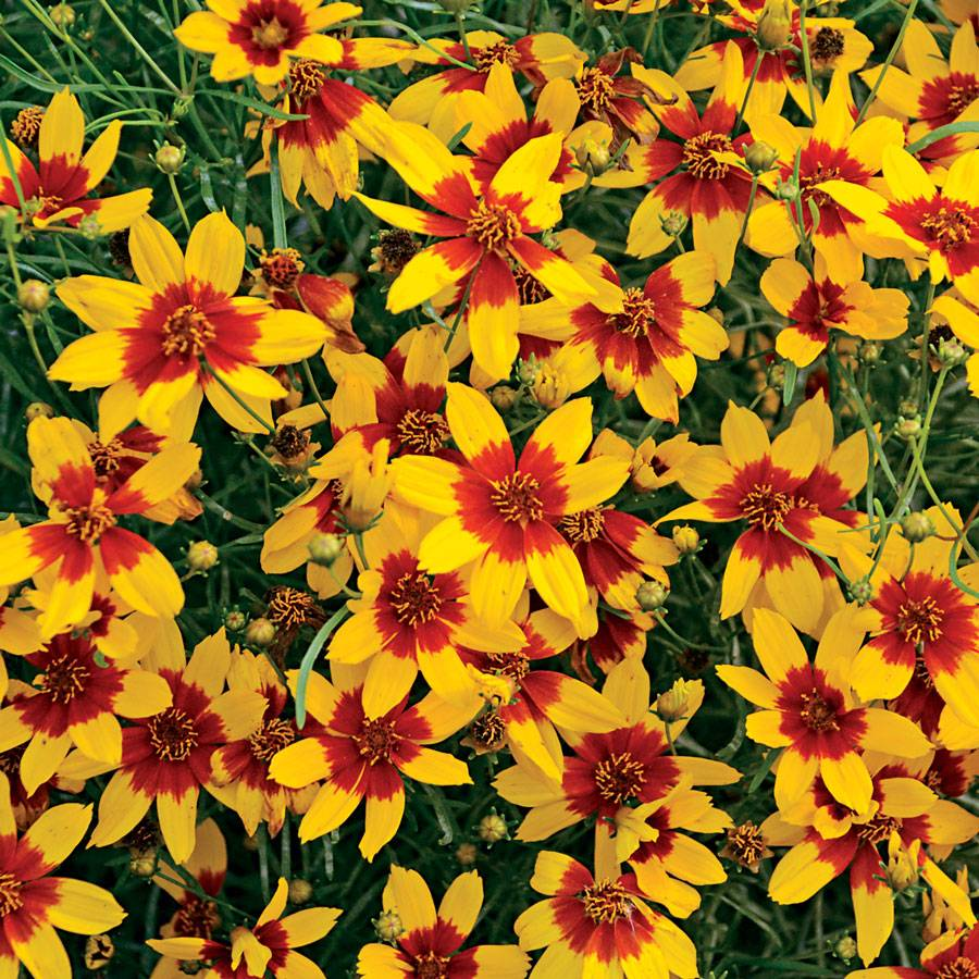Coreopsis Curry Up At Wayside Gardens