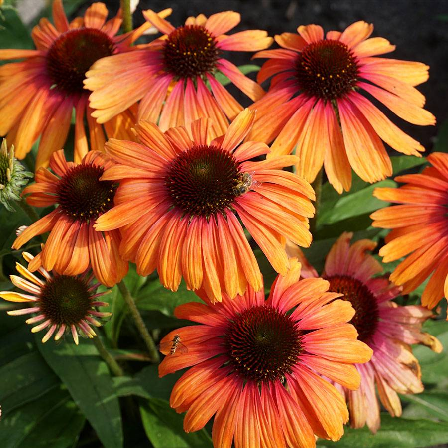 Echinacea Butterfly™ 'Rainbow Marcella' Image