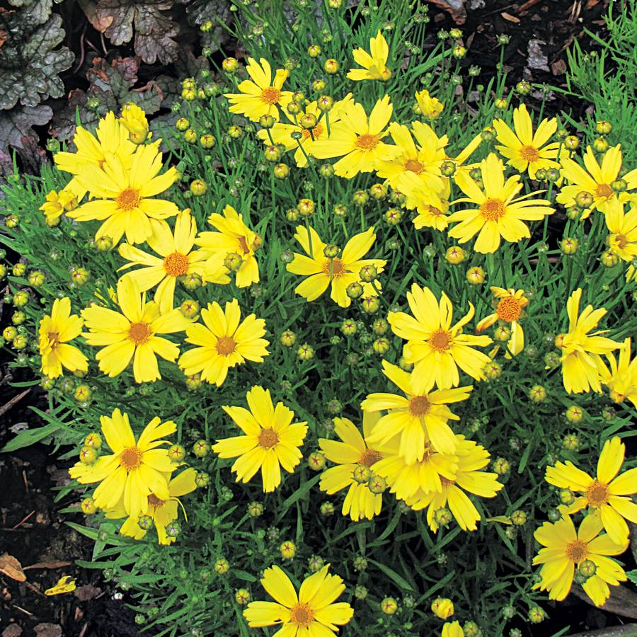 Coreopsis Citrine From Wayside Gardens