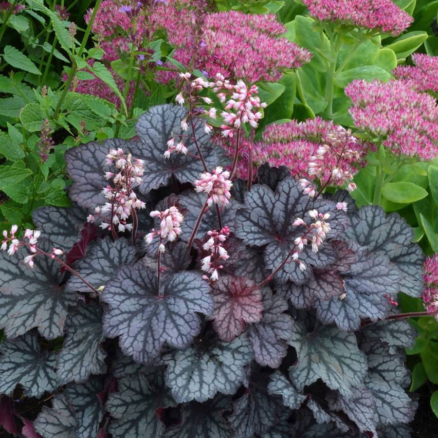 heuchera little cutie 39 frost 39 from wayside gardens. Black Bedroom Furniture Sets. Home Design Ideas