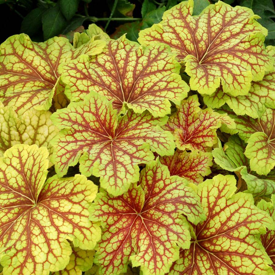 heuchera 39 red lightning 39 from wayside gardens. Black Bedroom Furniture Sets. Home Design Ideas