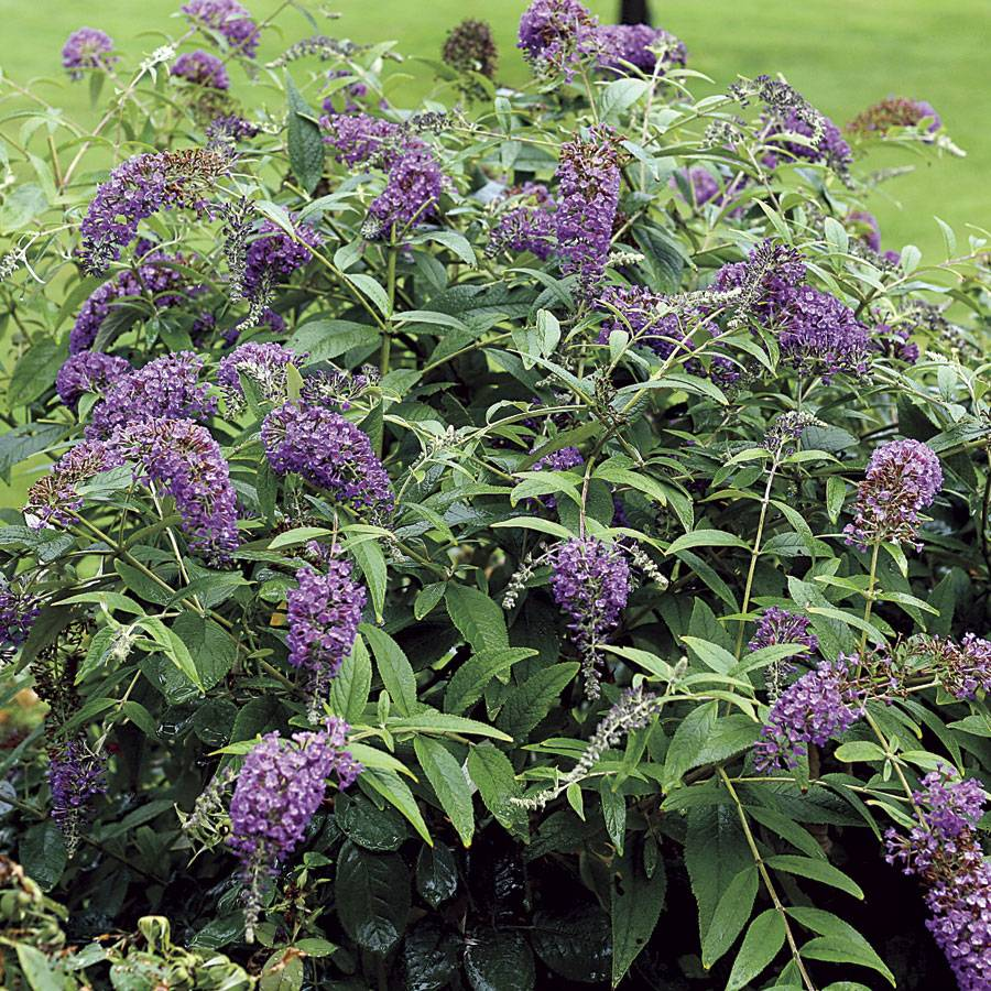 Lo Behold Purple Haze Buddleia Butterfly Bush