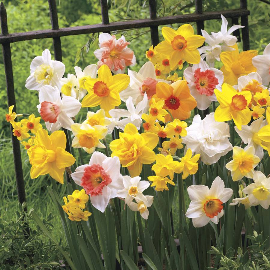 Narcissus All Spring Mix Image