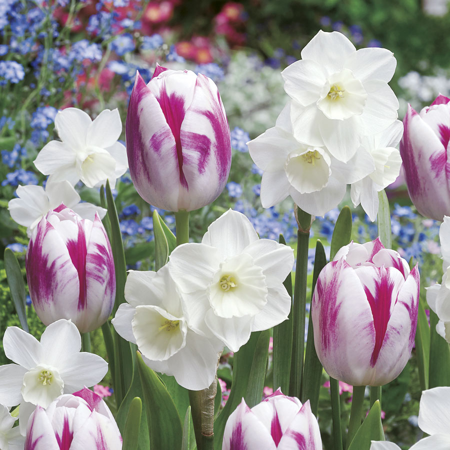 Tulip Daffodil Butterfly Kisses Blend Image