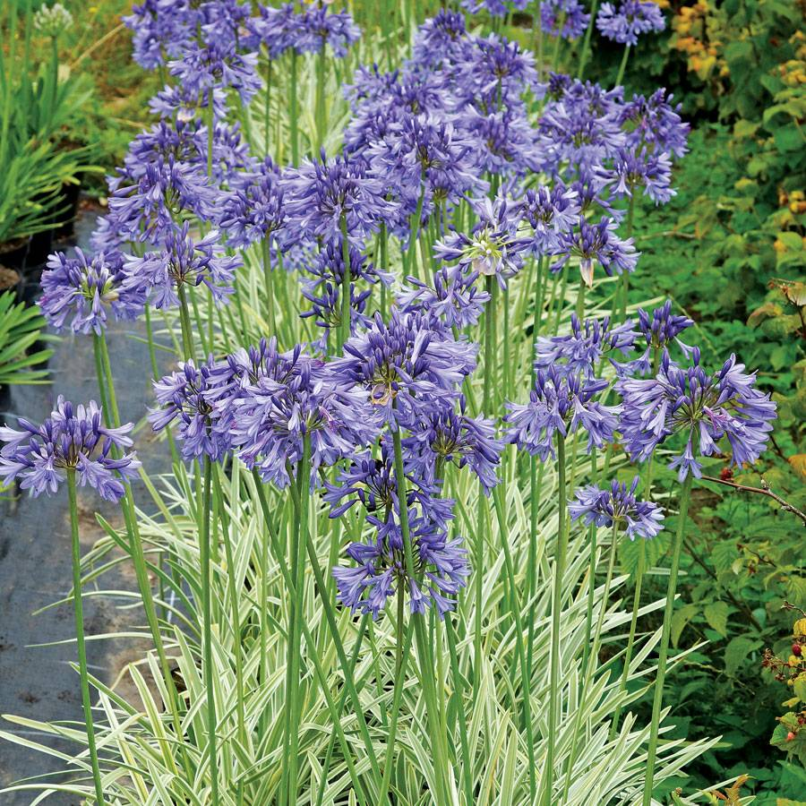 Agapanthus silver moon at wayside gardens sold out agapanthus silver moon izmirmasajfo