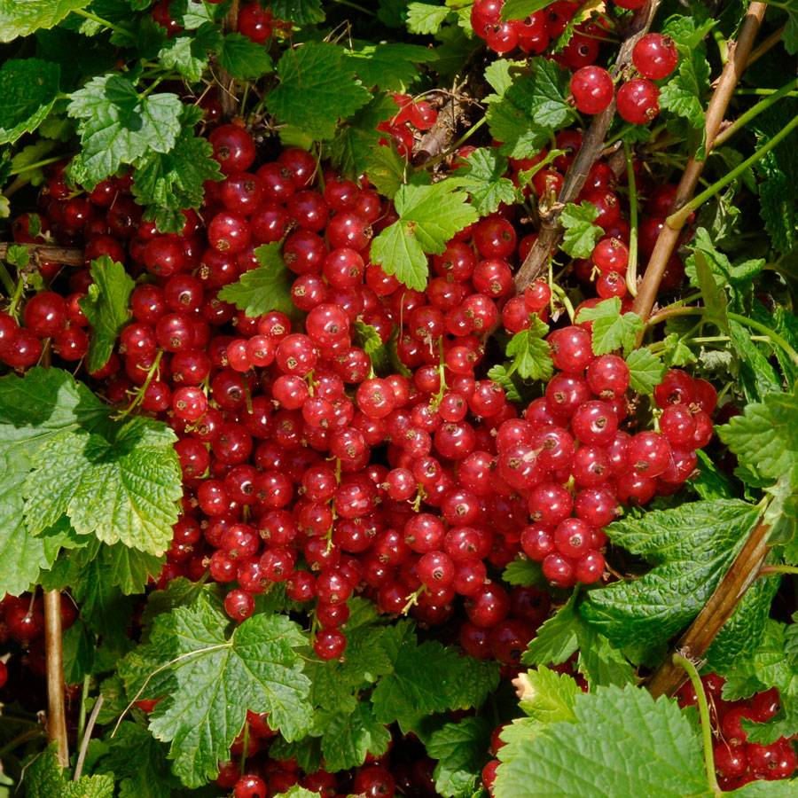 Red Jade Red Currant For Sale At Wayside Gardens