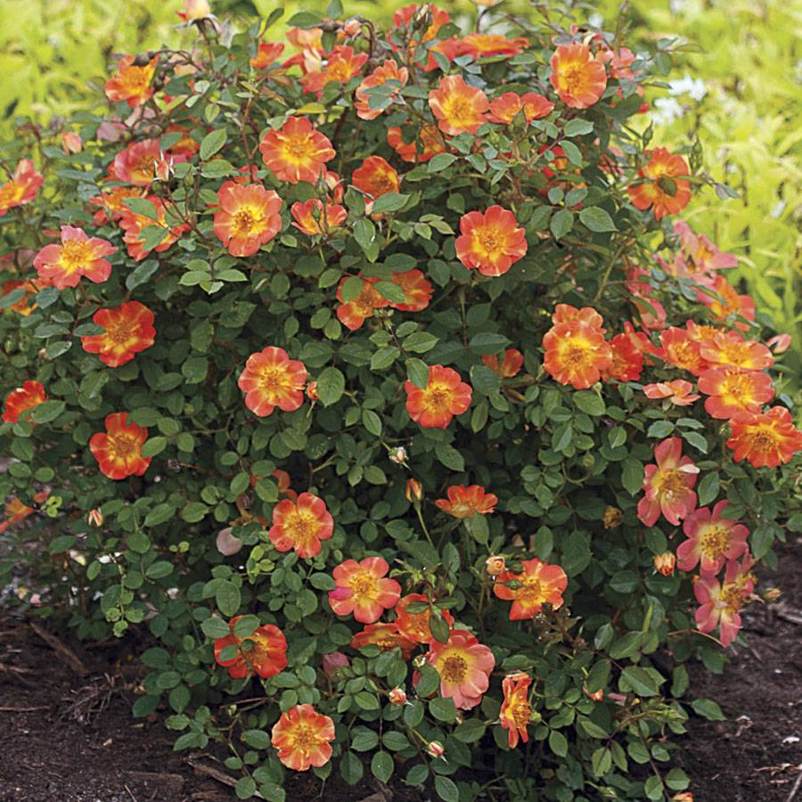 Simple Rose Garden: Rosa Oso Easy® Paprika From Wayside Gardens