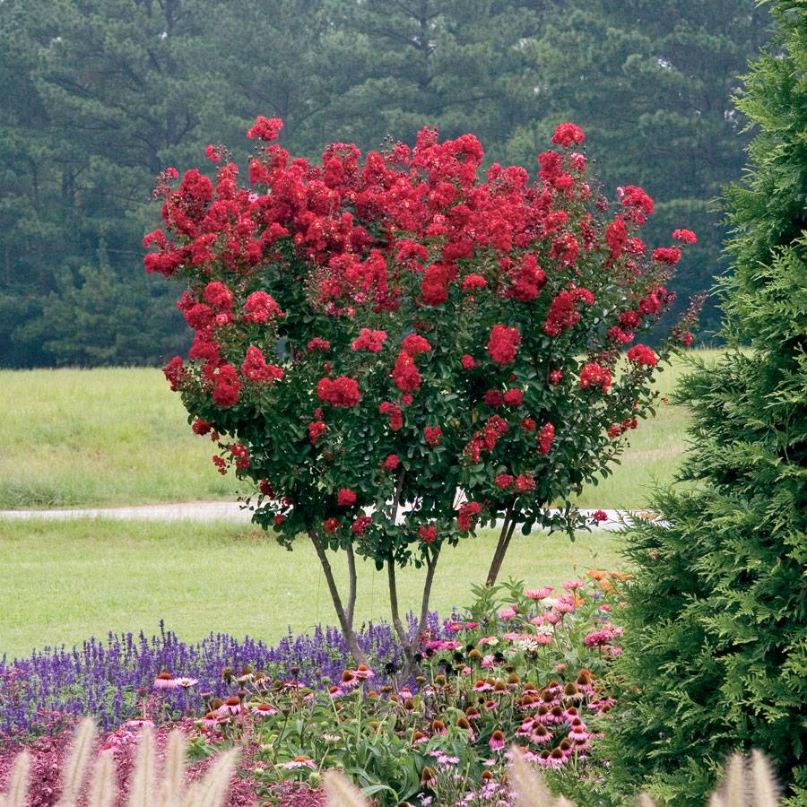 Lagerstroemia Red Rocket® Image