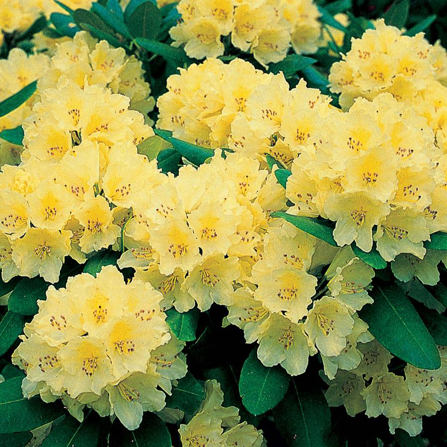 Rhododendron Capistrano At Wayside Gardens
