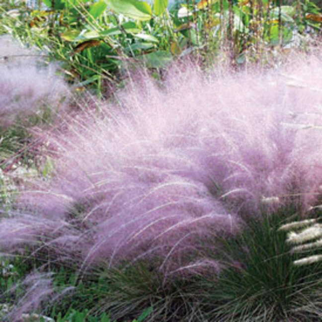 Muhlenbergia pink muhly grass from wayside gardens for Ornamental grass with pink flowers