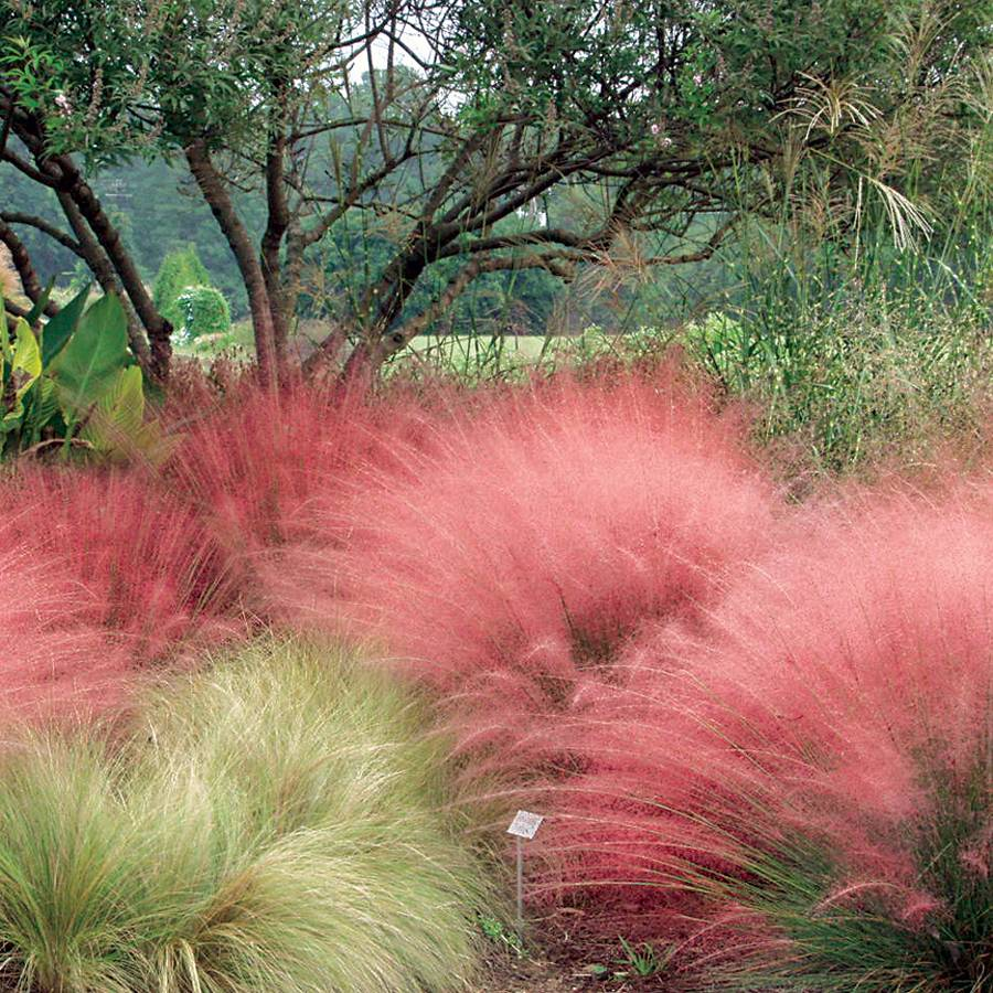 Muhlenbergia pink muhly grass from wayside gardens for Grasses planting scheme
