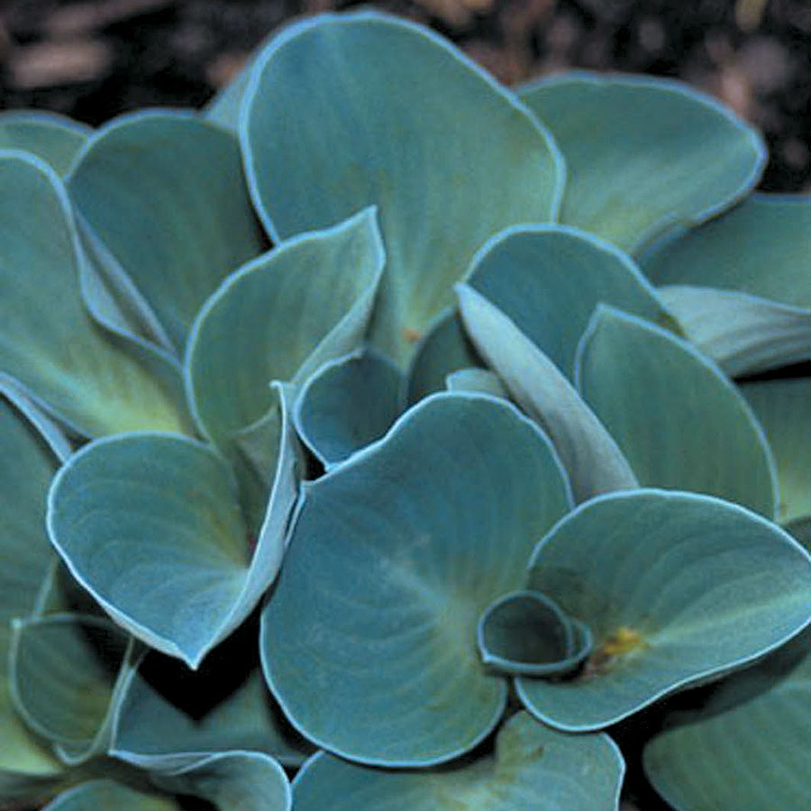 Hosta Blue Mouse Ears From Wayside Gardens