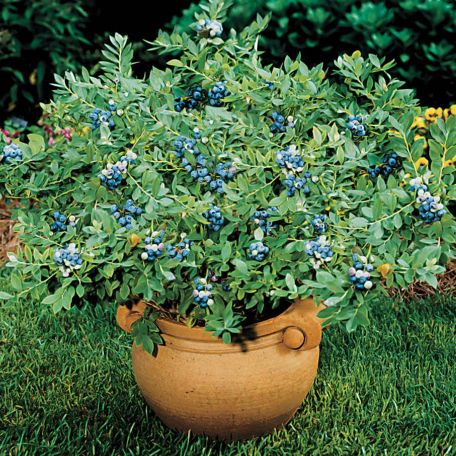 Sunshine Blue Dwarf Blueberry For Sale At Wayside Gardens