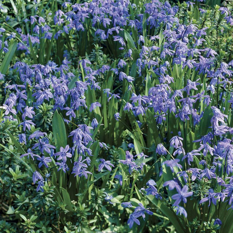 Siberian Squill - Pack of 20 Image