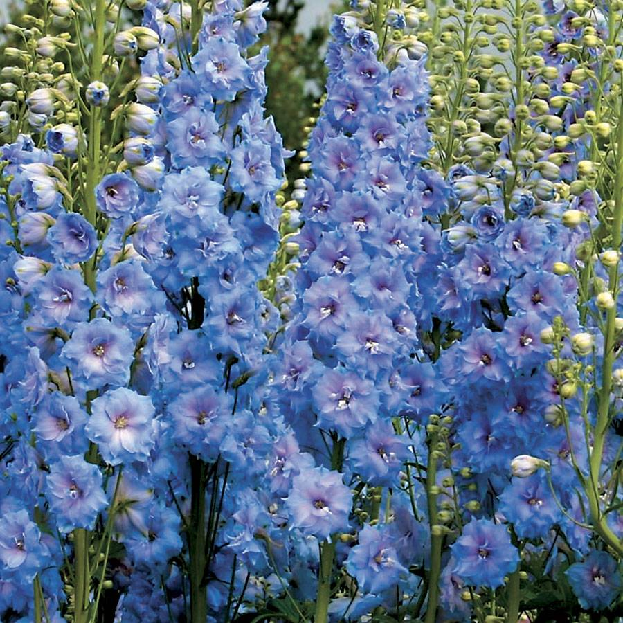 Delphinium Blue Lace From Wayside Gardens