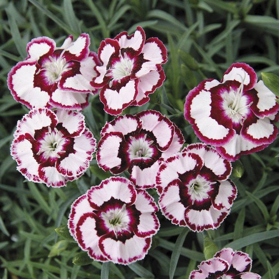 Dianthus raspberry swirl from wayside gardens sold out dianthus raspberry swirl mightylinksfo
