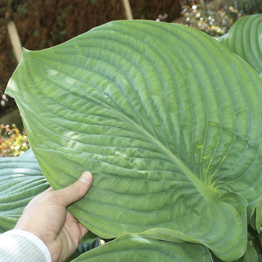 Hosta Shadowland Empress Wu
