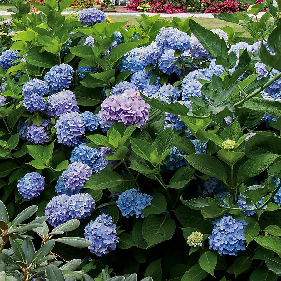 Hydrangea All Summer Beauty From Wayside Gardens