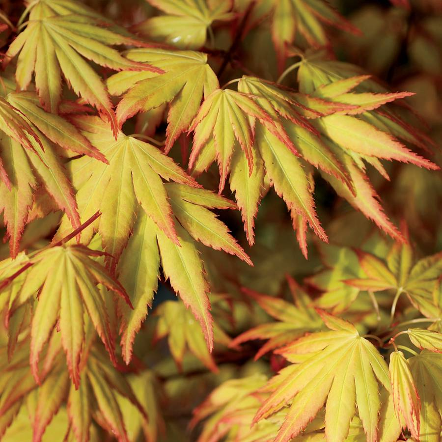 Acer Orange Dream At Wayside Gardens